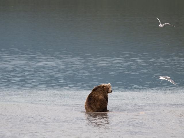 Kamchatka bear Katti Borre