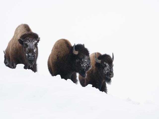 Yellowstone bizon winter Katti Borre